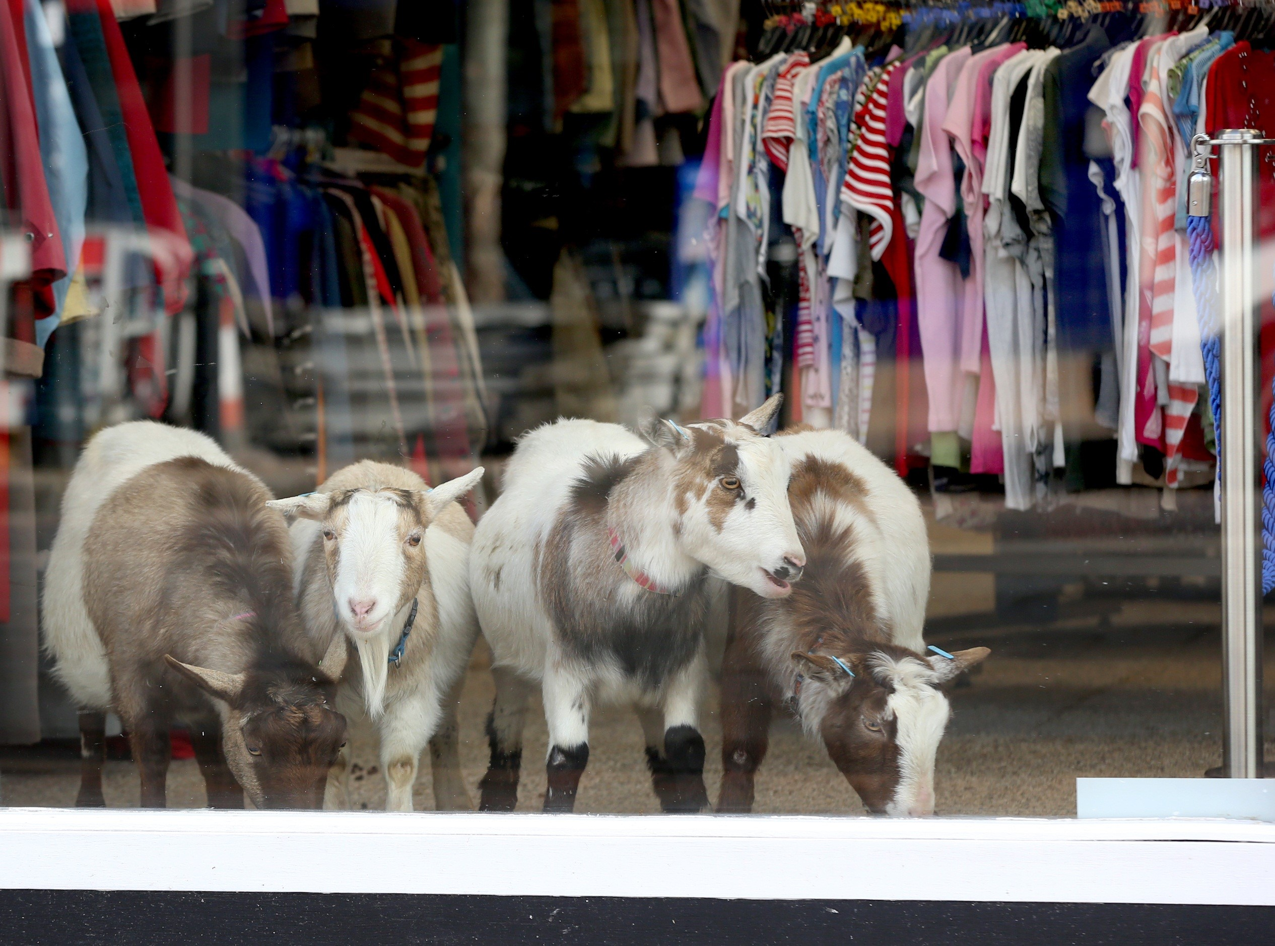 Goats stand in a Age Uk charity shop.