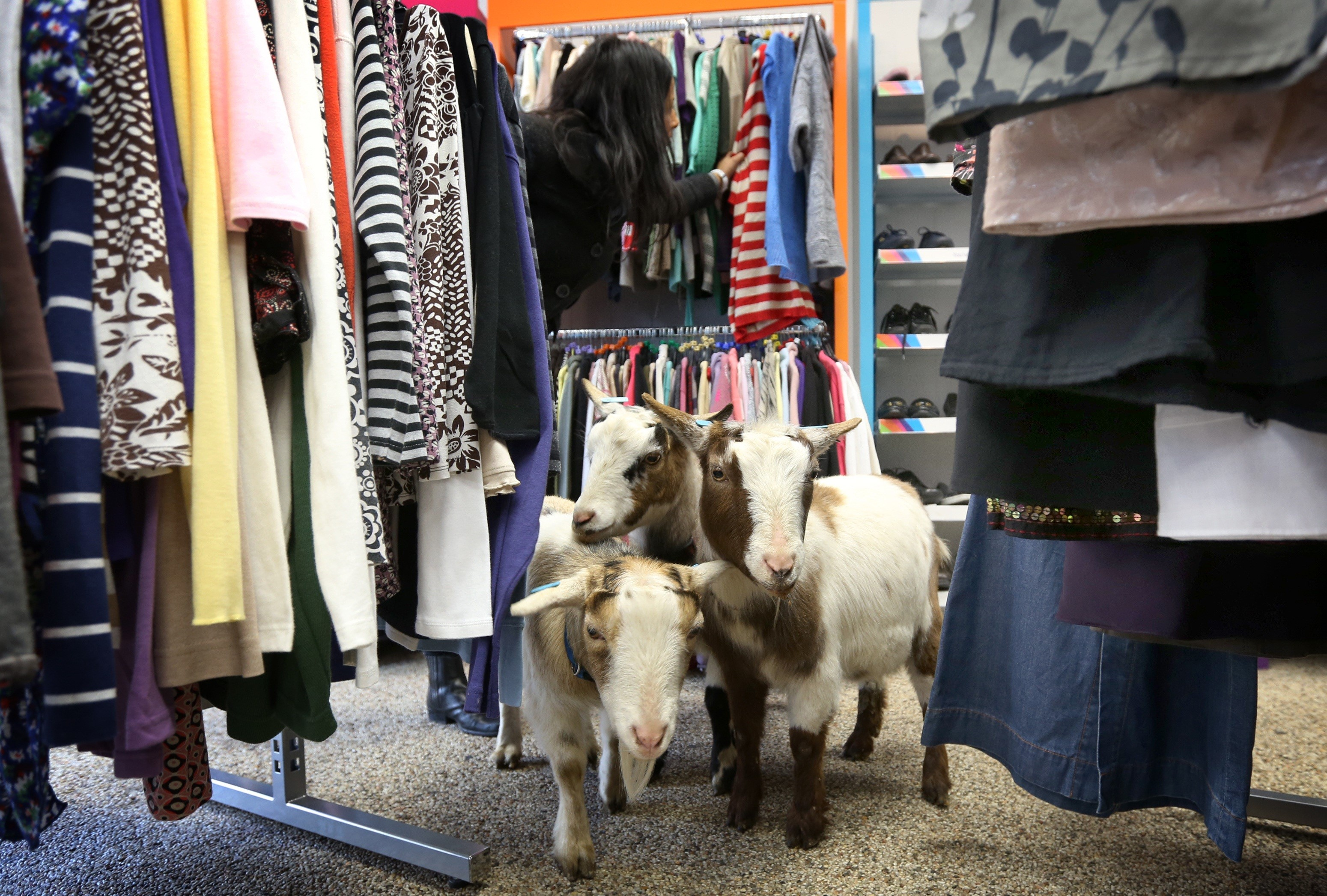 Goats stand in an Age Uk charity shop.